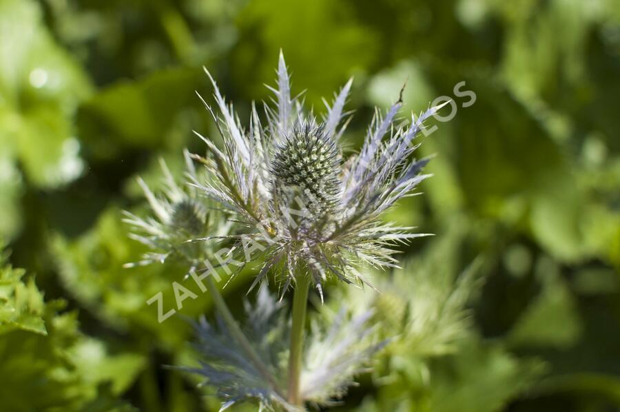 Máčka alpská 'Blue Star' - Eryngium alpinum 'Blue Star'