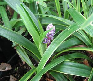 Liriope 'Gold Banded' - Liriope muscari 'Gold Banded'