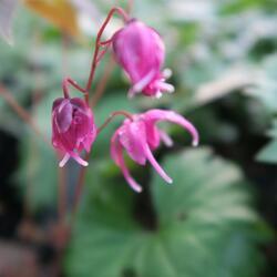 Škornice velkokvětá 'Rose Queen' - Epimedium grandiflorum 'Rose Queen'