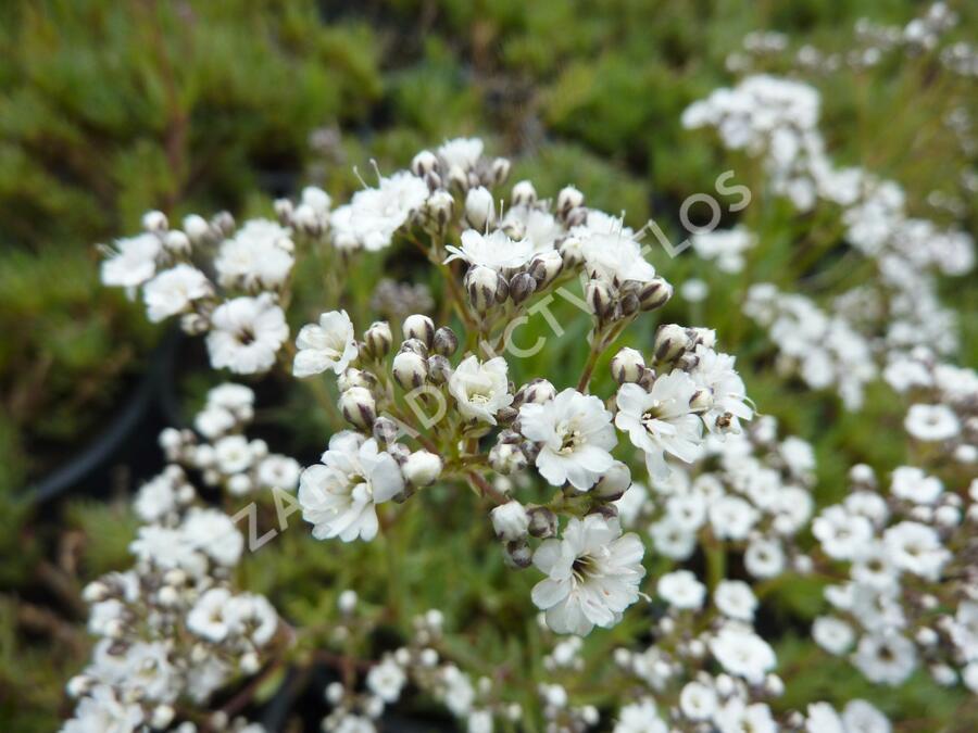 Šater latnatý 'Festival Star' - Gypsophila paniculata 'Festival Star'