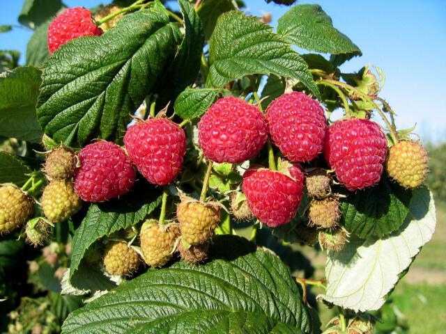 Maliník remontantní 'Heritage' - Rubus idaeus 'Heritage'