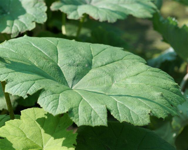 Rodgersie štítnatá - Astilboides tabularis