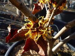 Vilín prostřední 'Orange Beauty' - Hamamelis intermedia 'Orange Beauty'