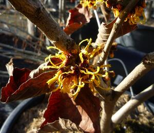 Vilín prostřední 'Orange Beauty' - Hamamelis intermedia 'Orange Beauty'