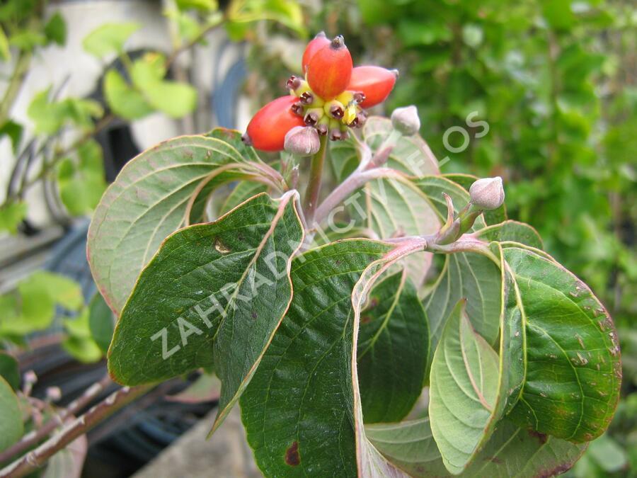 Dřín květnatý 'Rubra' - Cornus florida 'Rubra'