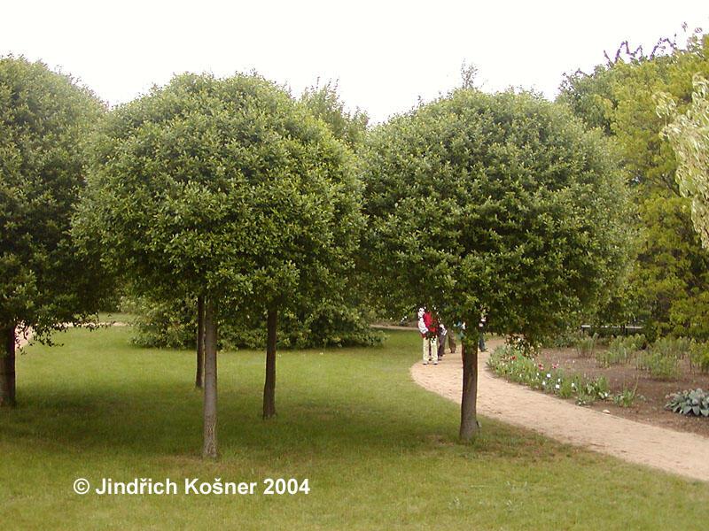 Višeň křovitá 'Globosa' - Prunus fruticosa 'Globosa'