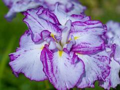 Kosatec mečovitý 'Harlequinesque' - Iris ensata 'Harlequinesque'