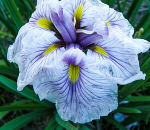 Kosatec mečovitý 'Greywoods Catrina' - Iris ensata 'Greywoods Catrina'