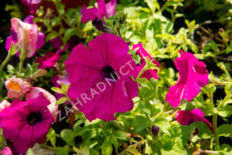 Petúnie 'Purple' - Petunia hybrida Surfinia 'Purple'