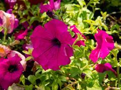 Petúnie 'Purple' - Petunia hybrida Surfinia 'Purple'