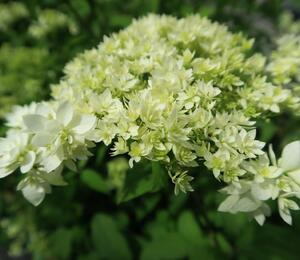 Hortenzie stromečková 'Hayes Starbust' - Hydrangea arborescens 'Hayes Starbust'