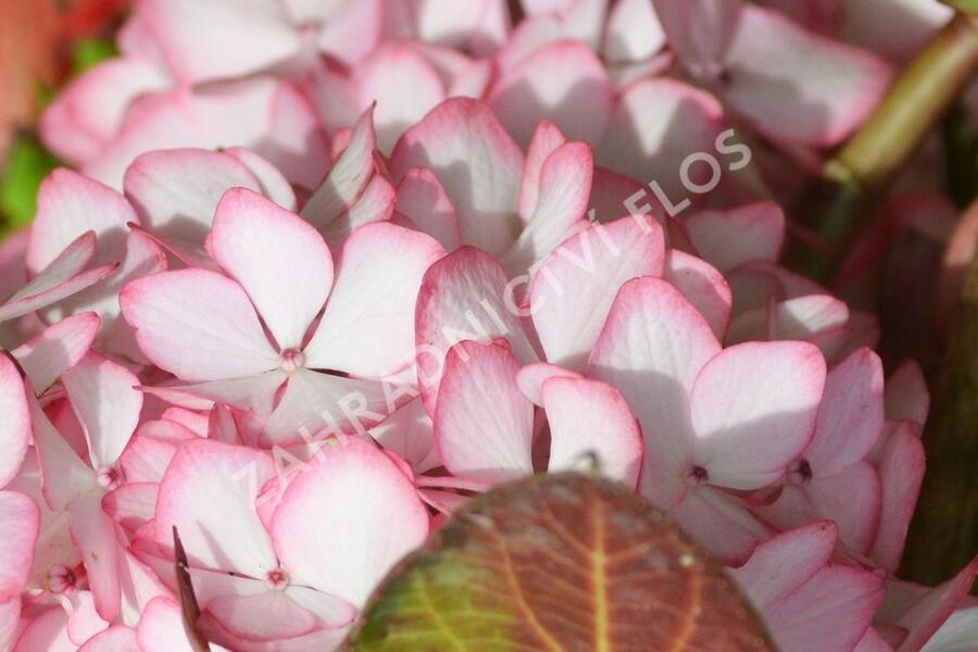 Hortenzie velkolistá 'Mirai' - Hydrangea macrophylla 'Mirai'
