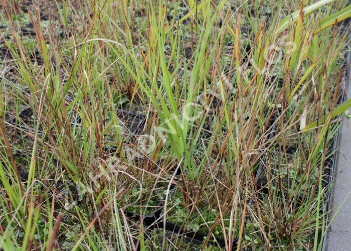 Kavyl třtinovitý - Achnatherum calamagrostis
