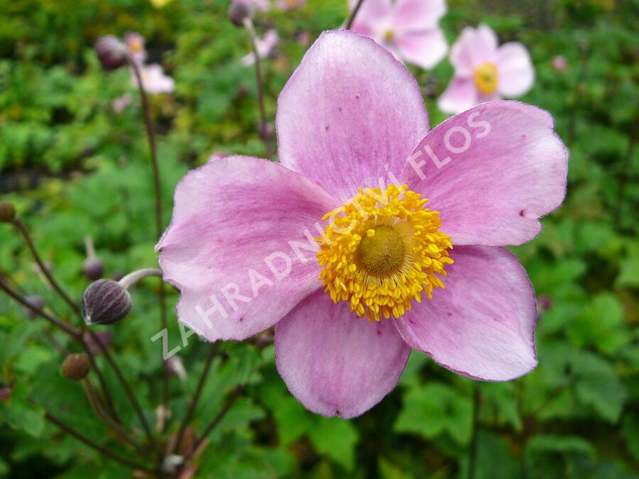 Sasanka plstnatá 'Robustissima' - Anemone tomentosa 'Robustissima'