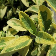 Šalvěj lékařská 'Aurea' - Salvia officinalis 'Aurea'