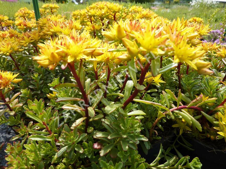 Rozchodník - Sedum floriferum