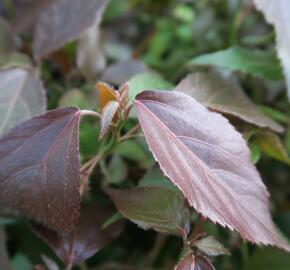 Kočičí ocásek, palnice - Acalypha wilkesiana