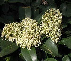 Skimie japonská 'Fragrant Cloud' - Skimmia japonica 'Fragrant Cloud'