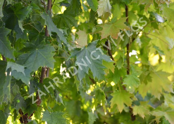Javor mléč 'Globosum' - Acer platanoides 'Globosum'