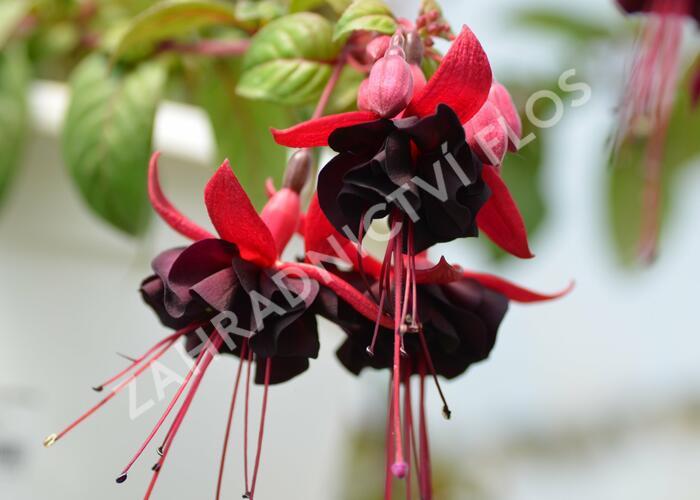 Čílko, fuchsie 'Blacky' - Fuchsia hybrida 'Blacky'