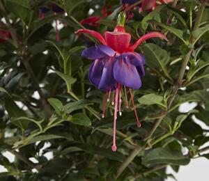 Čílko, fuchsie 'General Monk Rot-Blau' - Fuchsia hybrida 'General Monk Rot-Blau'