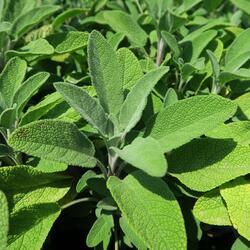 Šalvěj lékařská 'Fortado' - Salvia officinalis 'Fortado'
