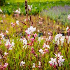 Svíčkovec 'Gambit Rose Bicolor' - Gaura lindheimeri 'Gambit Rose Bicolor'