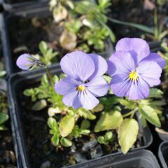 Violka růžkatá 'Blue Perfection' - Viola cornuta 'Blue Perfection'