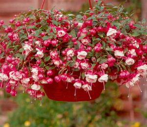 Čílko, fuchsie 'Alwin' - Fuchsia hybrida 'Alwin'