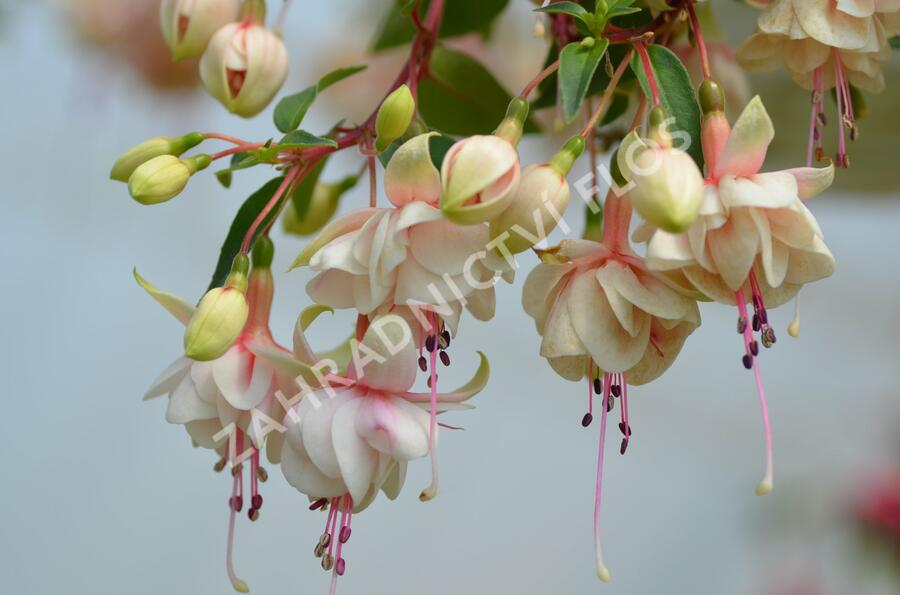 Čílko, fuchsie 'Harry Gray' - Fuchsia hybrida 'Harry Gray'