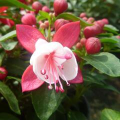 Čílko, fuchsie 'Fuchsita Red White' - Fuchsia hybrida 'Fuchsita Red White'