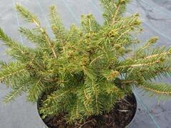 Smrk ztepilý 'Nidiformis' - Picea abies 'Nidiformis'