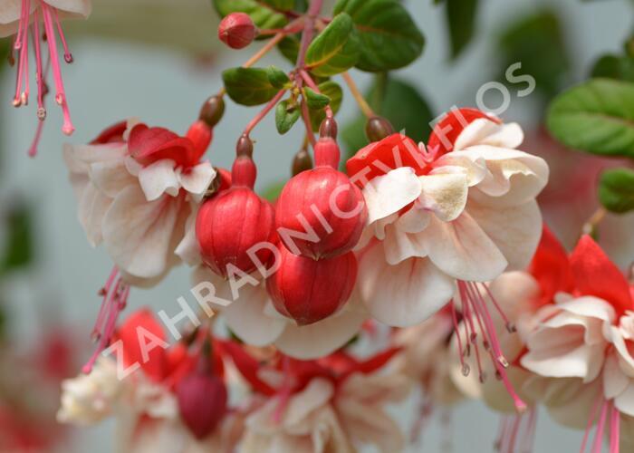 Čílko, fuchsie 'General Monk Rot-Weiss' - Fuchsia hybrida 'General Monk Rot-Weiss'
