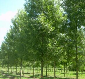 Jasan úzkolistý 'Raywood' - Fraxinus angustifolia 'Raywood'
