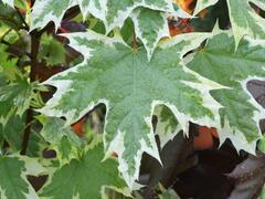 Javor mléč 'Drummondii' - Acer platanoides 'Drummondii'