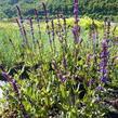 Šalvěj hajní 'Caradonna' - Salvia nemorosa 'Caradonna'