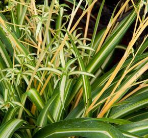 Zelenec - Chlorophytum comosum