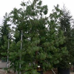 Borovice Wallichova - Pinus wallichiana (excelsa)