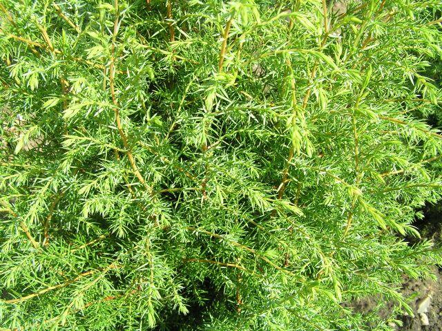 Jalovec obecný 'Hibernica' - Juniperus communis 'Hibernica'