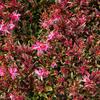Svíčkovec 'Butterfly Rose' - Gaura lindheimeri 'Butterfly Rose'