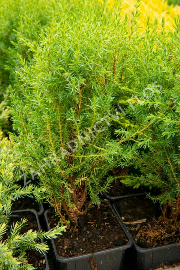 Jalovec obecný 'Compressa' - Juniperus communis 'Compressa'