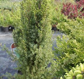 Jalovec obecný 'Compressa' - Juniperus communis 'Compressa'