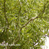 Vrba Matsudova 'Tortuosa' - Salix matsudana 'Tortuosa'