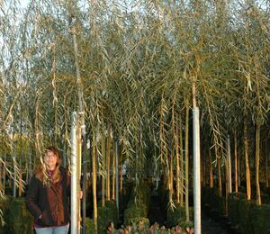 Vrba babylonská 'Aurea' - Salix babylonica 'Aurea'