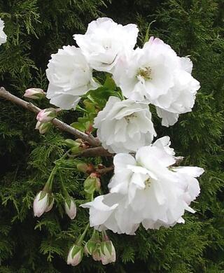Višeň pilovitá 'Shirotae' - Prunus serrulata 'Shirotae'