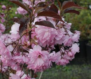Višeň pilovitá 'Royal Burgundy' - Prunus serrulata 'Royal Burgundy'