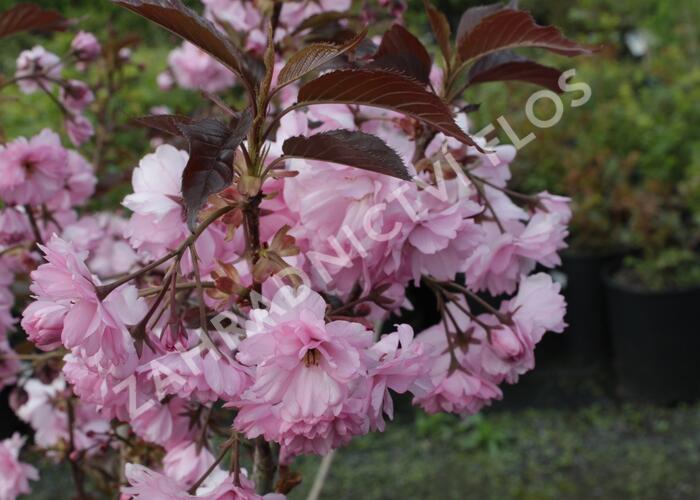 Višeň pilovitá 'Royal Burgundy' - Prunus serrulata 'Royal Burgundy'