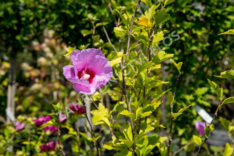 Ibišek syrský 'Lavender Chiffon' - Hibiscus syriacus 'Lavender Chiffon'