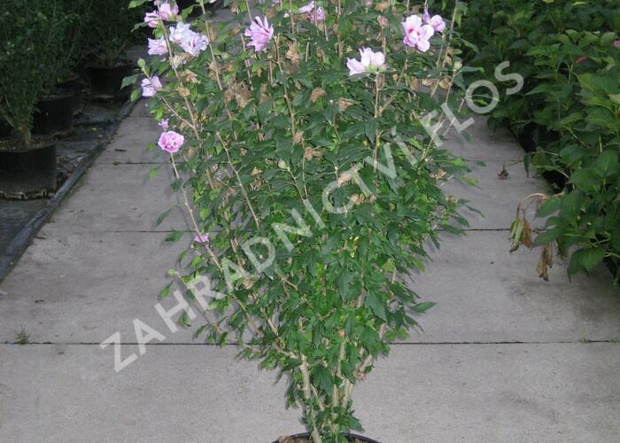 Ibišek syrský 'Ardens' - Hibiscus syriacus 'Ardens'
