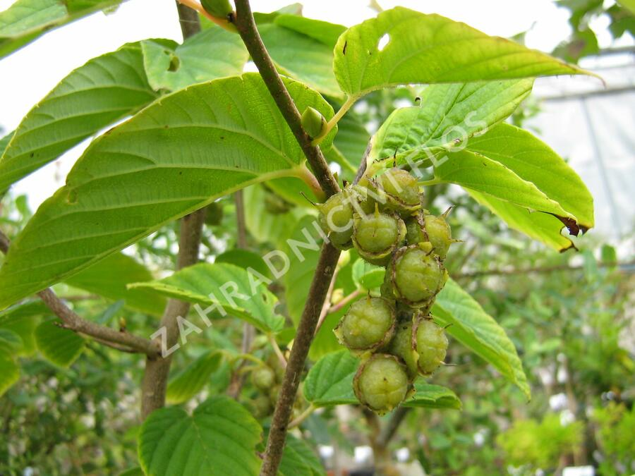 Lískovníček klasnatý - Corylopsis spicata